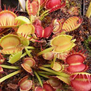 "Dionaea muscipula ""Cross Teeth"""